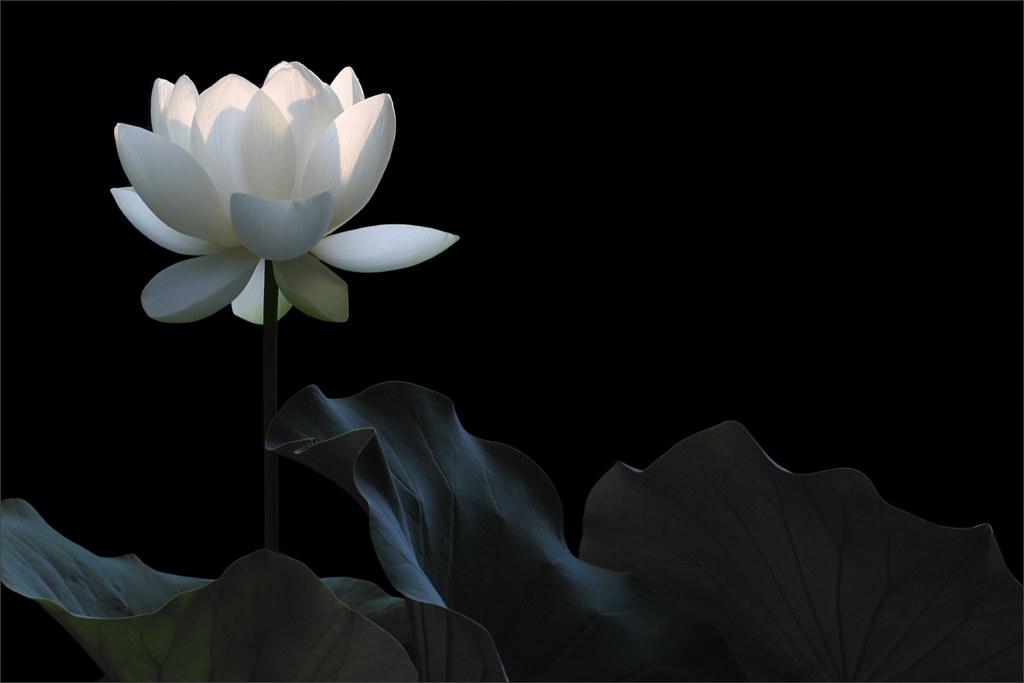 White Flower White Flower Bahman Farzad Flickr