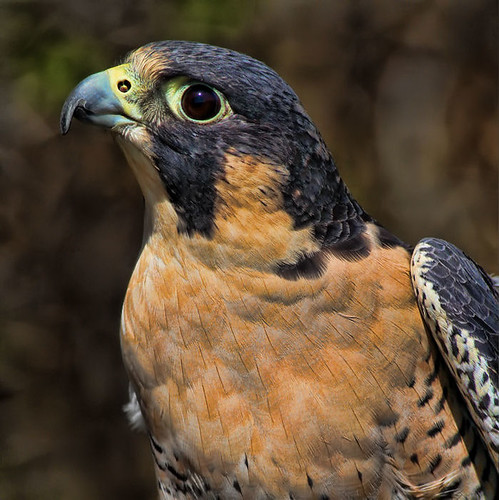 Peregrine Falcon | by prairiedog (in and out)