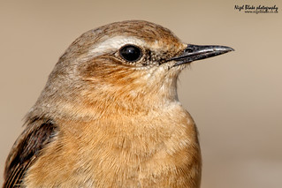 Northern Wheatear, Oenanthe oenanthe | by Nigel Blake, 14 MILLION...Yay! Many thanks!