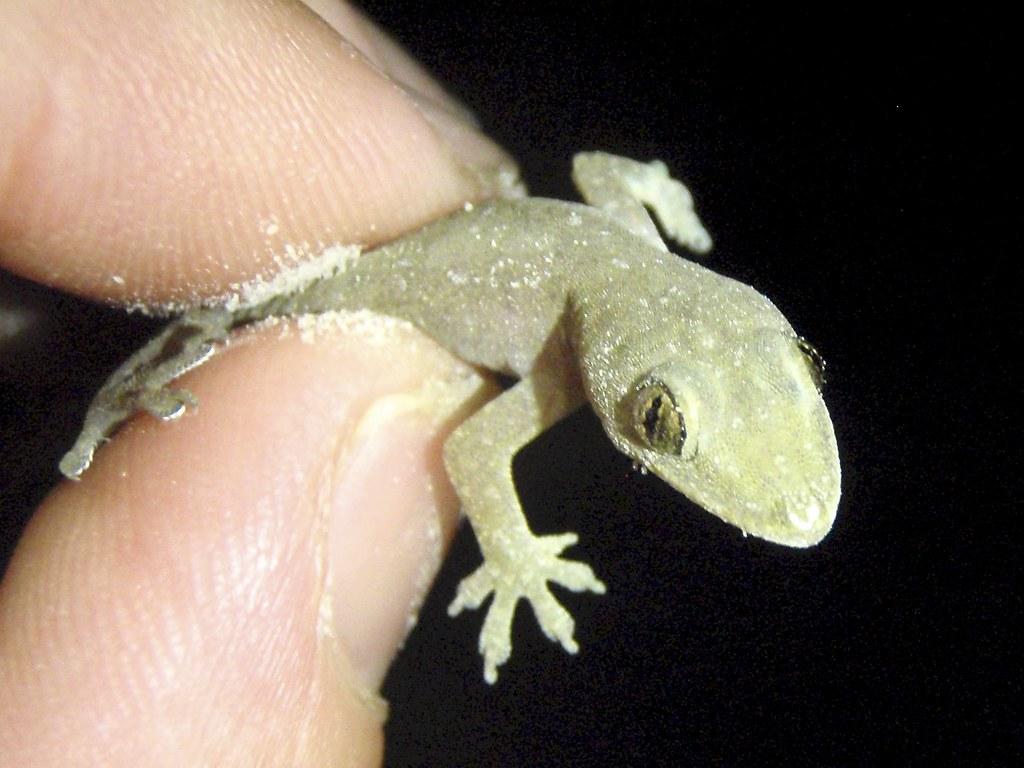 hemidactylus mabouia - tropical house gecko ??? | found on r… | flickr