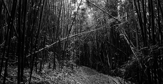Bamboo forest | by CNorth2
