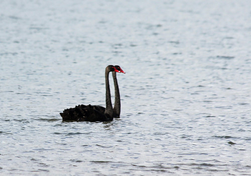 Black Swans | by iansand