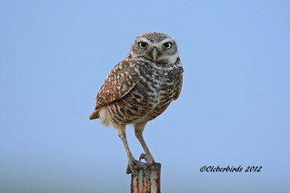 Burrowing Owl - Athene cunicularia | by Cleber C. Ferreira