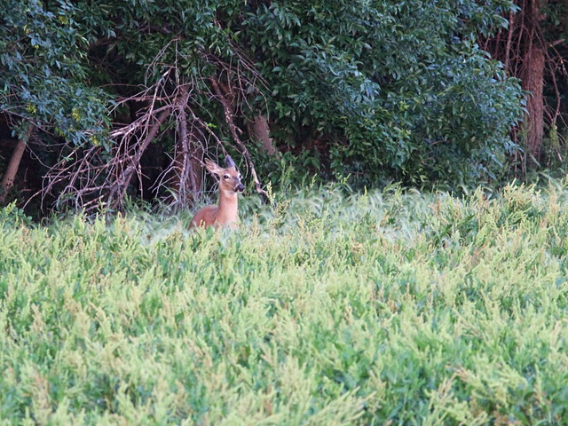 White-tailed large doe 20160619