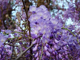 Wisteria Blooming ... 3-16-12 | by Moon Shine Photography