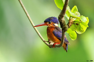 (Explored) Blue Eared Kingfisher #6 | by Ken Goh thanks for 2 Million views