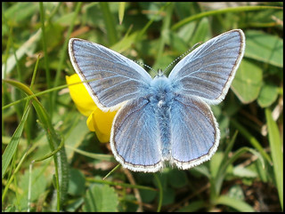 Common Blue | by Kevin Pendragon