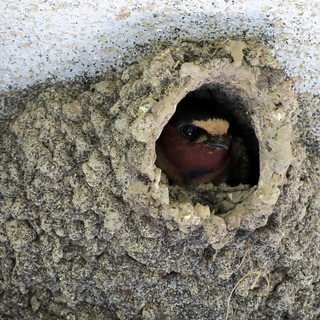 Swallow in nest | by Joann aka Jee Whiz!