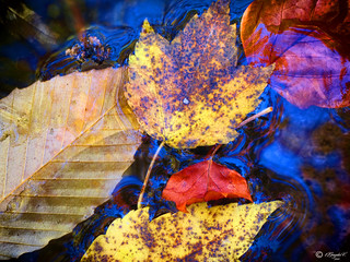 Autumn leaves | by Oscar Gonzales V.