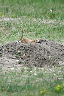 prairie dogs at Badlands National Park | by lydia mann