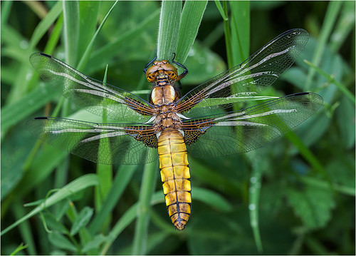 Broad Bodied Chaser | by Chris Beard - Images