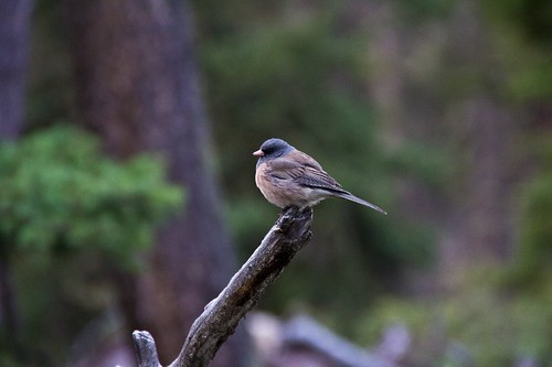 Pink sided junco, Yellowstone | by Benoit Cappronnier