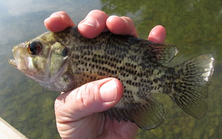 Young Rock Bass | by OakleyOriginals