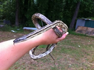 Gray Ratsnake | by Natalie's Cell Phone