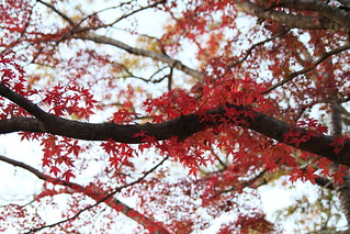 Maple leaves from Takao Mountain | by Leonardo.Bright