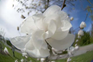 A swirl of a Magnolia | by Kalexanderson