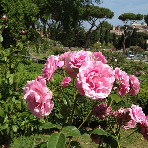 Rome's communal rose garden. It's only open a few weeks a year.  #rome #roses | by nyc/caribbean ragazza