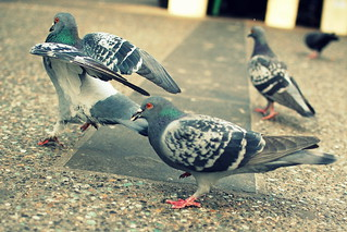 Pigeons - Downtown Vancouver #1 | by Paulman C