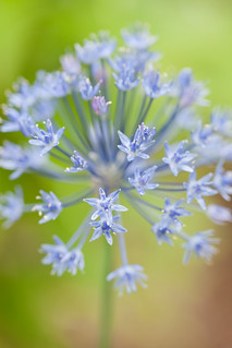 Bursting Blue~ | by Connie Etter Photography