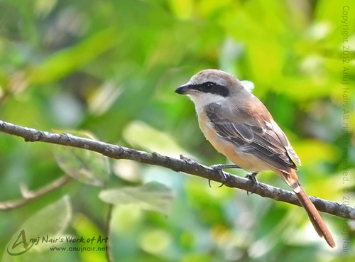 Brown Shrike (Male) | by Anuj Nair