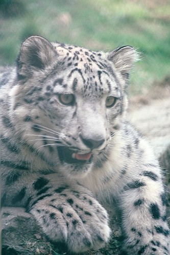Snow Leopard | by Crazy George