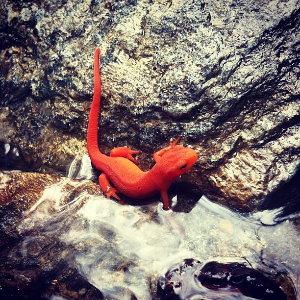 A Red F Lizard Scott Chrisman Flickr