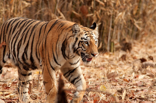 Tiger tiger burning bright | by ....Nishant Shah....