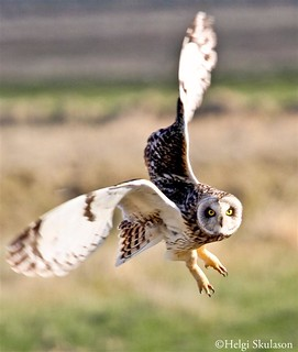 Short eared owl | by Helgi Skulason photographer