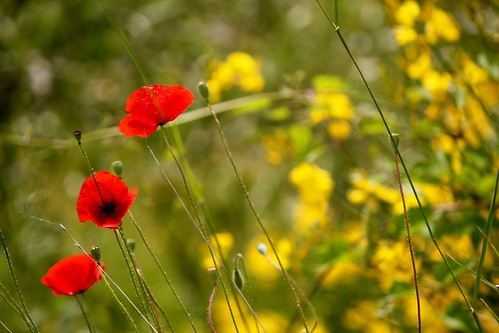 Poppies and Yellow Flowers | by L'essentiel est invisible pour les yeux.
