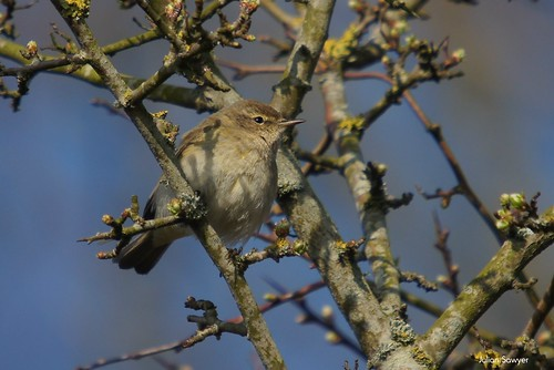 Chiff Chat | by julian sawyer - Purbeck Footprints