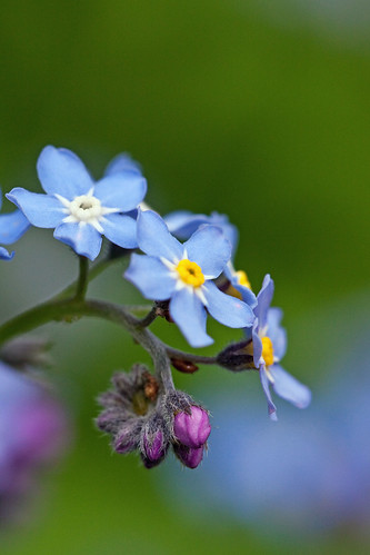 Forget-me-not | by Miche & Jon Rousell