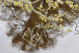 oak branch over reflection | by elekecskejudi (many thanks for viewing)