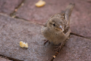Sparrow on Brick Pavers | by Flickr Dave