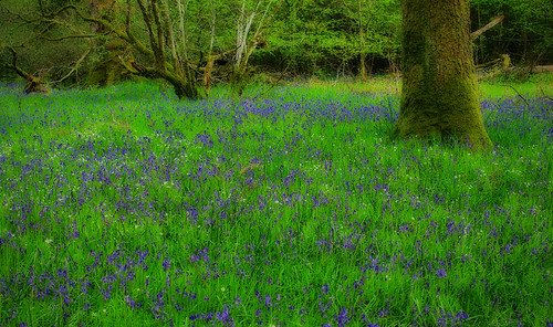 Some Bluebells | by WullieS