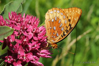 Great Spangled Fritillary | by tvbare