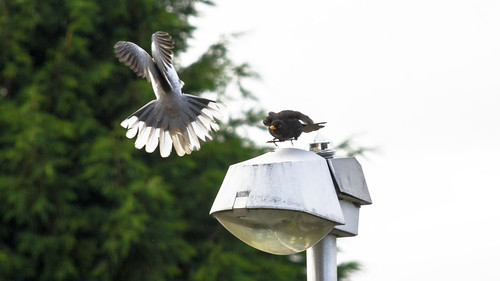 Blackbird & Collard Dove Fight | by Blitz Photography & Production