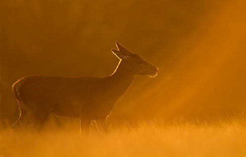 Red deer in the morning light | by Giedriius