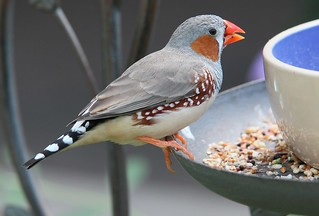 Zebra finch | by Thank you for 1.5 Million views