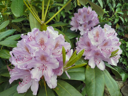 Rhododendron | by siaronj