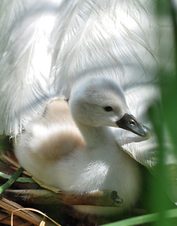 Baby Mute Swan ,cygnet under mothers wing,May 30,2012 | by sues passion