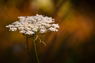 Queen Anne's Lace in Bloom | by Bob Diekmeier
