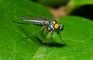 Long-legged Fly | by Josh Beasley