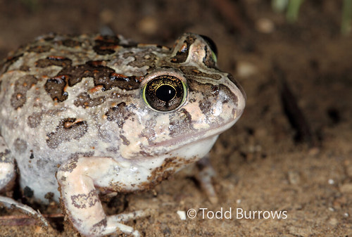 Platyplectrum ornatum (Ornate Burrowing Frog) | by Todd Burrows
