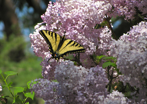 Butterfly on Lilac | by EricF2000