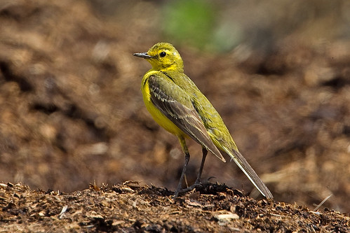 Yellow Wagtail | by Richo14