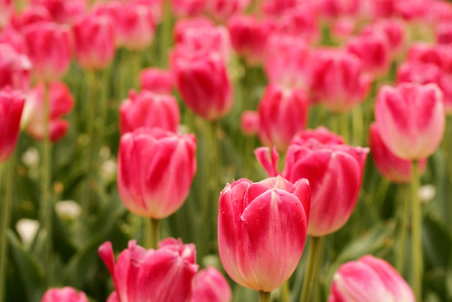 Pink Tulips | by j man.