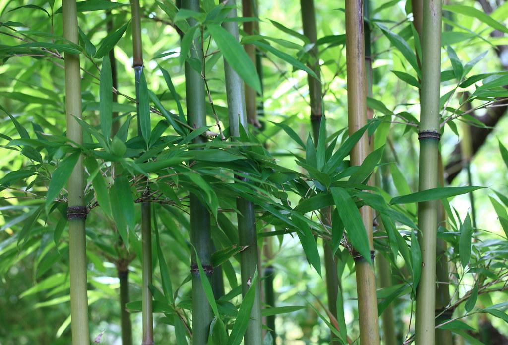 Bamboo / 竹(たけ) | Ohtaki-Ken...
