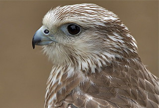 Gyr falcon | by barnowlterry