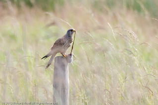 Kestrel (Falco tinnunculus) male with rodent | by Richard Nicoll
