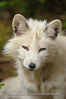 Arctic Fox | by Scott Grant